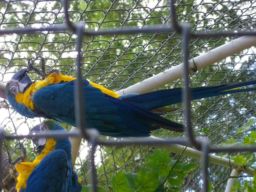 Blue macaws in snactuary