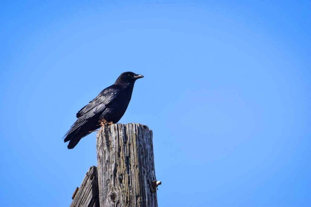 Crow against a blue sky